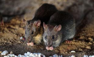"""Австралийский ученый предупредил о вероятности вспышки """"крысиной чумы"""""""
