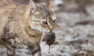 Почему коты несут добычу в дом
