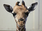 Что скрывают убийцы жирафа Мариуса