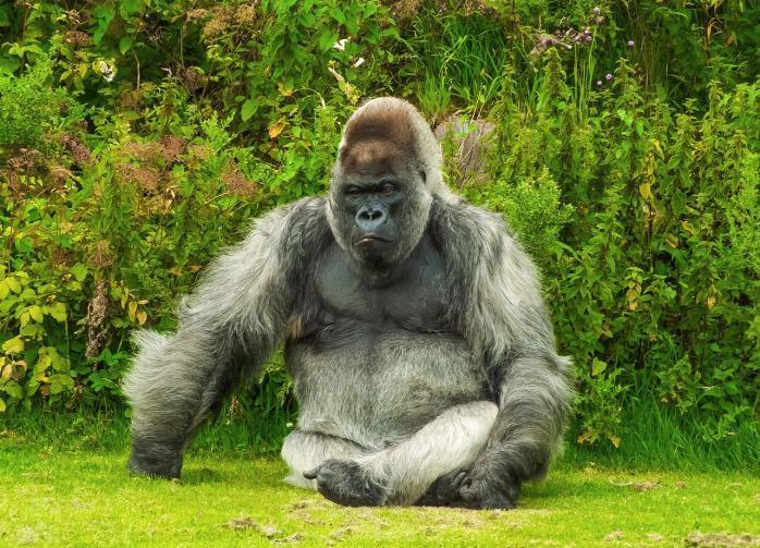 Учёные высказались в защиту горилл, заразившихся COVID-19 от человека
