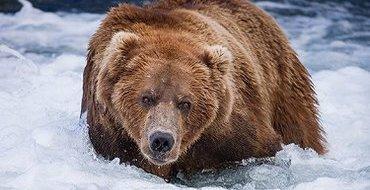 Железнодорожники хотели только напугать медведя, сбитого локомотивом