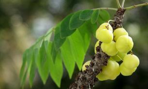 Определен фрукт, избавляющий от жира на животе