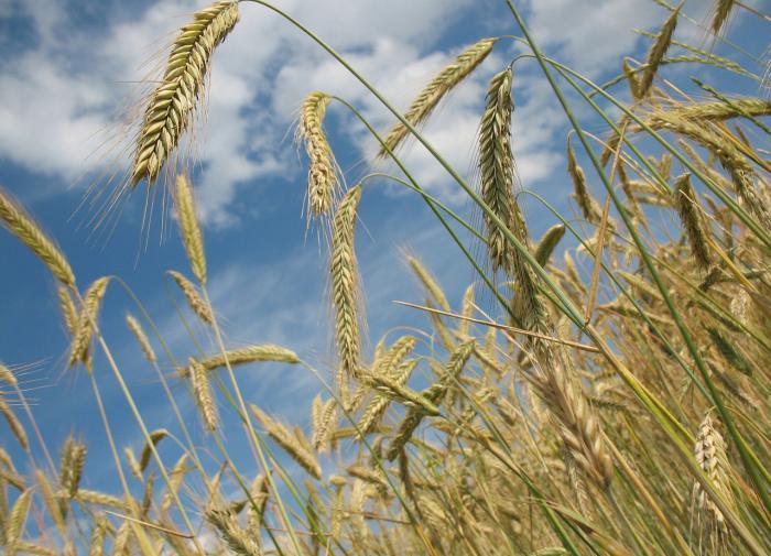 Россия снизит экспорт пшеницы почти в два раза