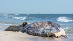 Загадка природы. Почему гибнут киты?