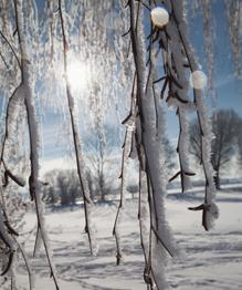 Новогодним балом правит зимний лес