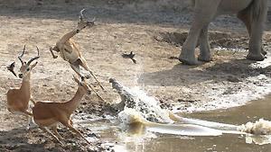 Антилопа, побывавшая в пасти крокодила