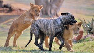 Мастиф во главе львиного прайда