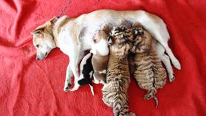 Тигриная мама лает, но не кусается