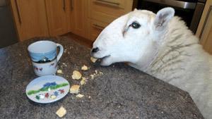 Овца-лабрадор, голая фотосессия и коровы в авто