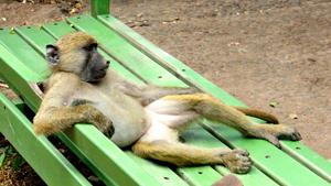 Осторожно, наглые обезьяны!