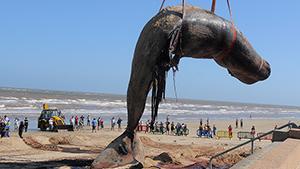 На пляже в Уругвае нашли мертвого кита