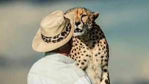 Гепарды заглядывают в глаза туристам