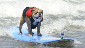 Собаки, любители серфинга