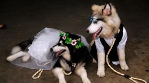Ах, эта свадьба... гавкала и плясала!