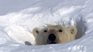 Почему полярный медведь живет только на севере