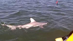 Девятилетний охотник на акул