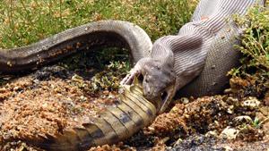 Питон и крокодил - кто кого поборет?