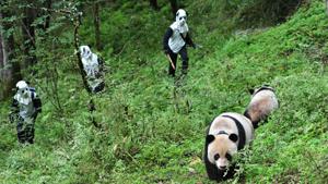 Большие панды: долгий путь на волю