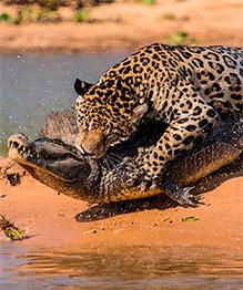 Война хищников: ягуар против каймана