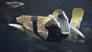 Черепаха-инвалид обзавелась протезами