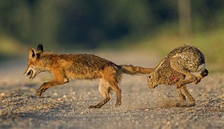 Как заяц лису гонял