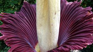 В Англии расцвел редчайший цветок