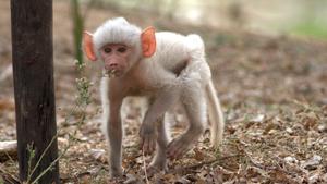 Необычный детеныш бабуина