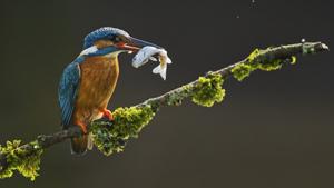 Пернатый рыболов