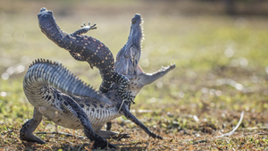 Поединок ящерицы и крокодила