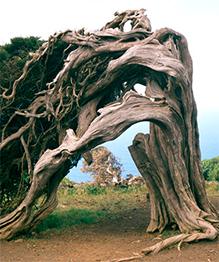 Почему деревья похожи на живых существ?