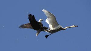 Воздушный бой в мирном небе