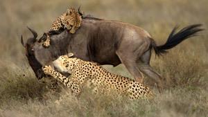 Позор джунглям! Гиены отобрали добычу у двух гепардов