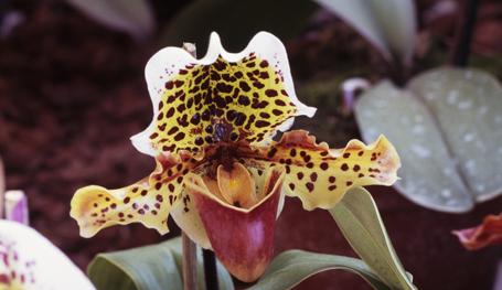 Божественное создание - орхидея