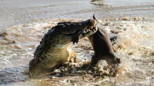 Как крокодил съел гиппопотама