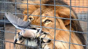 Лев чуть не сожрал голубя в зоопарке