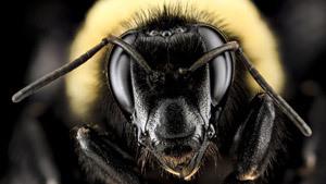 Лицом к лицу с обыкновенной пчелой