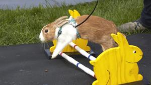 Кролики - это не только ценный мех. Но и бег по трассе с препятствиями