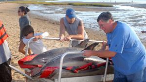 Более 60 дельфинов выбросились на берег в США